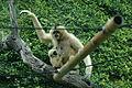 Nomascus leucogenys in San Antonio Zoo.jpg