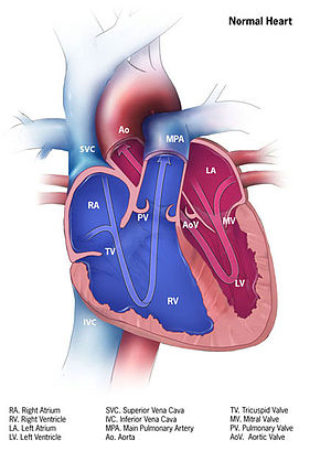 Medical illustration - Image: Normal heart