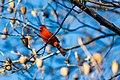 Northern cardinal (24893270331).jpg
