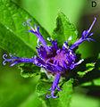 Nothovernonia purpurea flower closeup.jpg