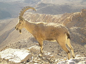 Wildlife of Israel - A Nubian ibex in the Negev desert