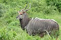 Nyala (Tragelaphus angasi) male ... (44772046310).jpg