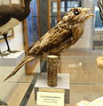 Nyctibius griseus - Swedish Museum of Natural History - Stockholm, Sweden - DSC00620.JPG