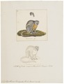 Nyctipithecus trivirgatus - 1700-1880 - Print - Iconographia Zoologica - Special Collections University of Amsterdam - UBA01 IZ20200212.tif