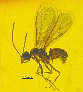 <i>Nylanderia pygmaea</i> species of insect (fossil)