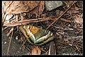 Nymphalidae (5968932691).jpg