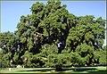Oak, U of R, Redlands 4-14-13 (8689057649).jpg