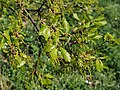 Oak flowers.jpg