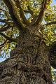Oak tree in Flemingsbergsskogens nature reserve.jpg