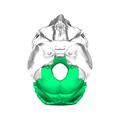 Occipital bone superior.png