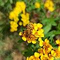 Ochraethes sommeri (Cerambycidae) - Mating.jpg
