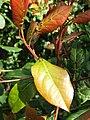Ocotea bullata - Stinkwood tree - Cape Town 2.JPG