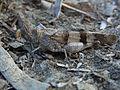 Oedipoda caerulescens CBTha004.JPG