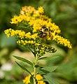 Oil Creek State Park Bee on Yellow Flowers.jpg