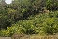 Oilpalm Mizoram DSC6910d.jpg