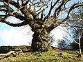 Old Woodland Tree - geograph.org.uk - 764512.jpg