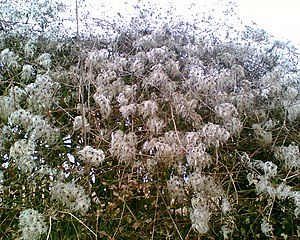 Old man's beard Clematis vitalba seeds.jpg