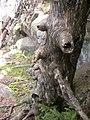 Old spruce.jpg