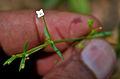 Oldenlandia herbacea W IMG 3840.jpg