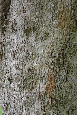 Olinia emarginata - Olinia emarginata bark