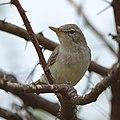 Olive-tree warbler, Hippolais olivetorum, at Mapungubwe National Park, Limpopo, South Africa. (46273356065).jpg