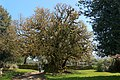 Ombu - Phytolacca dioica - Pazo de Santa Cruz de Ribadulla - 01.jpg