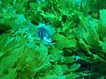 Omegophora armilla Ringed toadfish PC280374.JPG