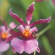 Oncidium ornithorhyncum.jpg