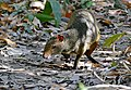 One of several Azara's Agouti (Dasyprocta azarae) searching for fruits discarded by monkeys ... (31710349991).jpg