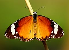 Open wing position of Danaus chrysippus, Linnaeus, 1758 – Plain Tiger WLB.jpg
