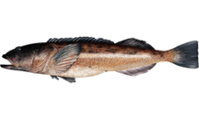 Ophiodon elongatus.png