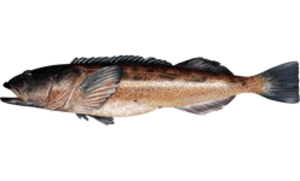 Lingcod - Ophiodon elongatus