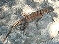Oplurus cuvieri 1.jpg