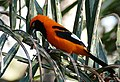 Orange-backed Troupial (Icterus croconotus) foraging in palm leaves ... (28540007281).jpg