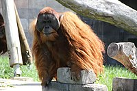 Orangutan-Columbus-zoo.JPG