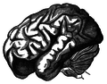 Orangutan brain profile view.png