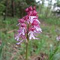 Orchidee Leutratal.JPG