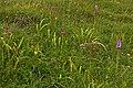 Orchids, Noar Hill - geograph.org.uk - 1362605.jpg