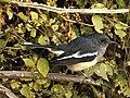 Oriental Magpie Robin Copsychus saularis female best DSCN2295 (6).jpg