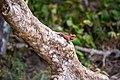Oriental garden lizard in Wilpattu National Park 15.jpg