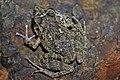 Oriente Stream Frog (Eleutherodactylus cuneatus) (8571333605).jpg