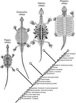 Diagram of evolution of turtle shells showing four fossil species