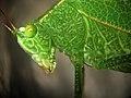 Orthoptera, Tettigoniidae - Parque do Zizo São Paulo.jpg