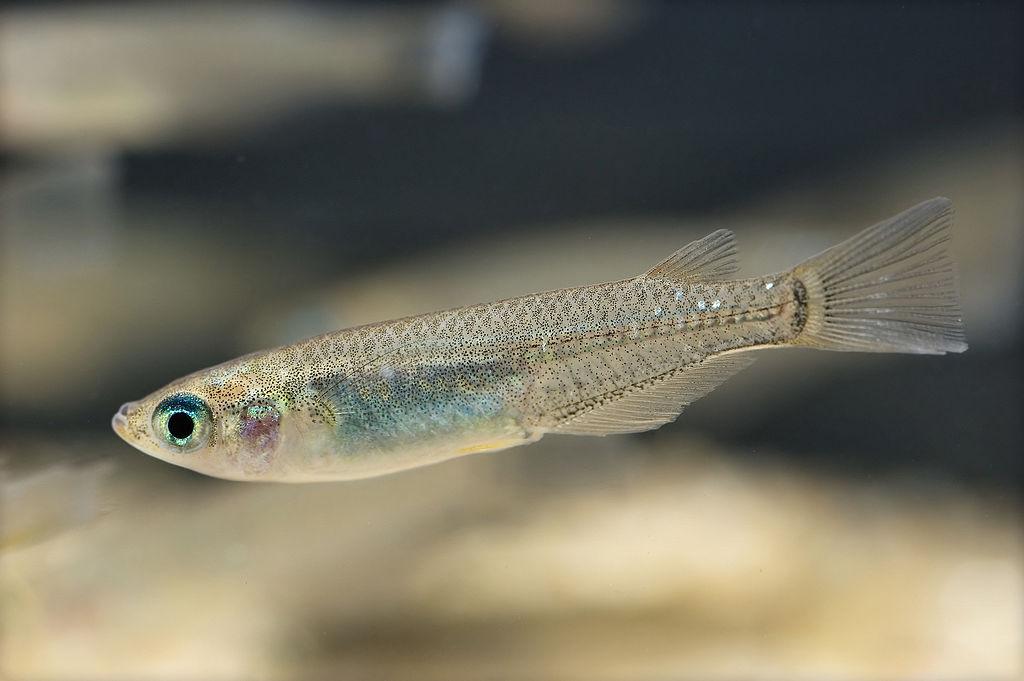 Oryzias latipes japanese rice fish japanese killifish for Japanese fish names
