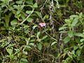 Osbeckia ¿ species ? (14578254095).jpg