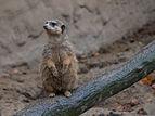 Osnabrück - Zoo - Suricata Suricatta 02.jpg