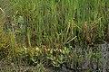 Overgangsrigkær-Botanisk-have.jpg
