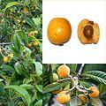 Owoce Nieśplik.jpg