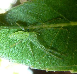 <i>Oxytate</i> genus of arachnids