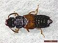 Oxytelus laqueatus (28286371867).jpg